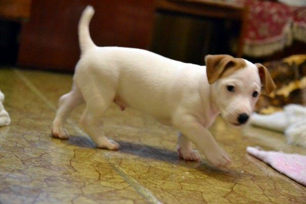 Бело-рыжие двухмесячные щенки джекм рассел терьера от родителей чемпионов