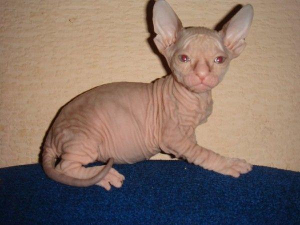 Шикарные котята донских сфинксов