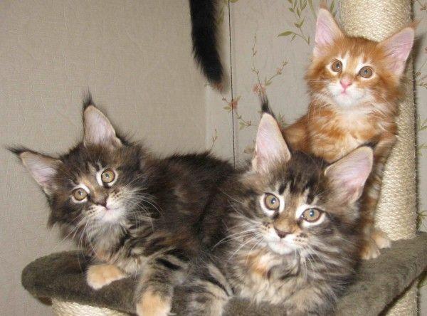 Эффектные котята мейн-кун