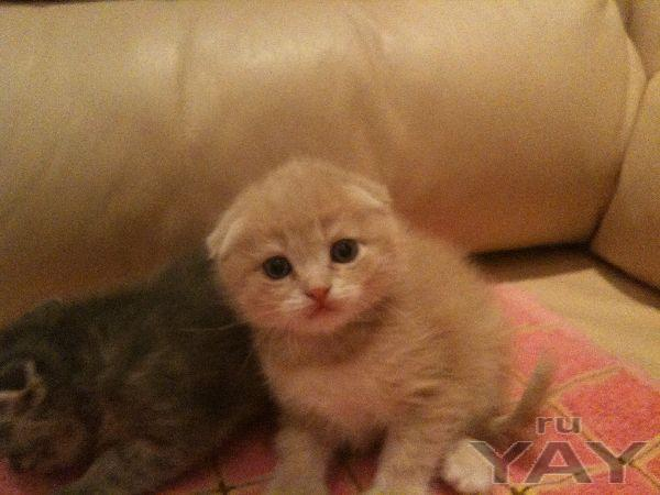 Продам вислоухих котят 1500 руб.