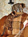 Бенгальские котята от питомника «эврика»