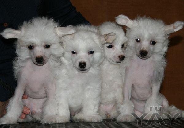 Продаются щенки китайской хохлатой собачки