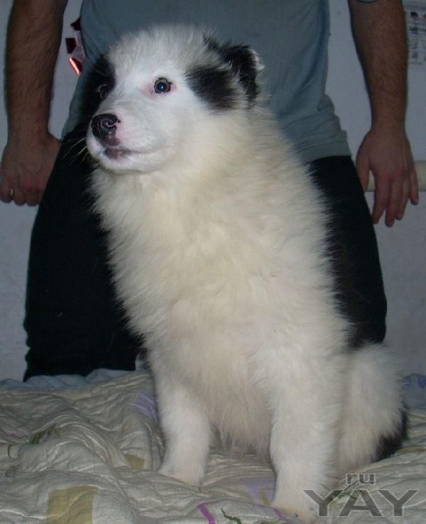 Щенки якутской лайки 5 месяцев