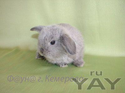 Карликовые кролики (крольчата)