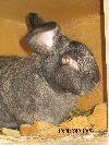 Крольчата бельгийского великана ( фландер).