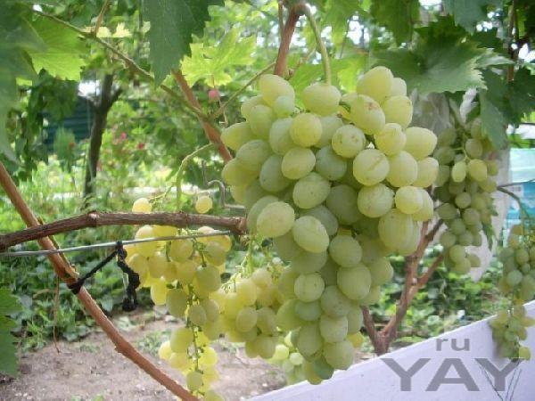 Виноград (белый, столовый) по 55 руб/кг.