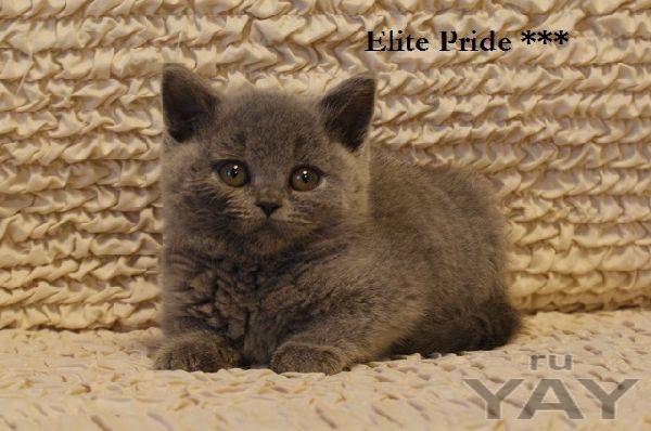 Британские элитные котята из питомника г.иваново