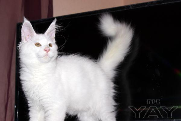 Белый котик мейн кун
