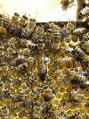 Пчелопакеты карпатка оптом и в розницу