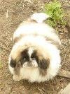 Пекинес щенок (7 месяцев) продам. Новосибирск