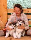 Шикарные щенки аляскинского маламута Екатеринбург